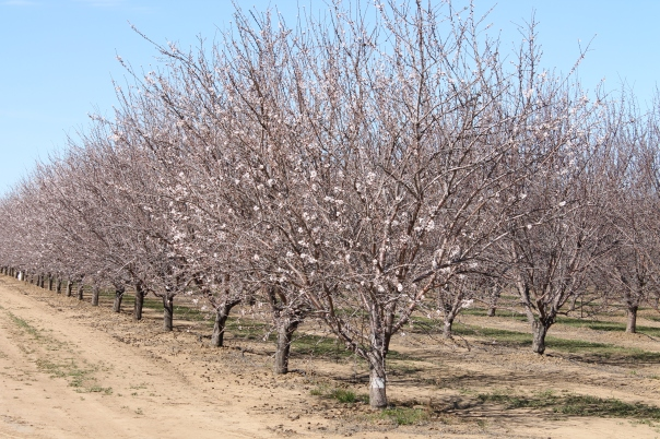 just as the almond trees are starting to bloom