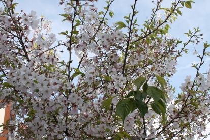 cherry blossom festival 056