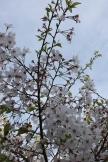cherry blossom festival 057
